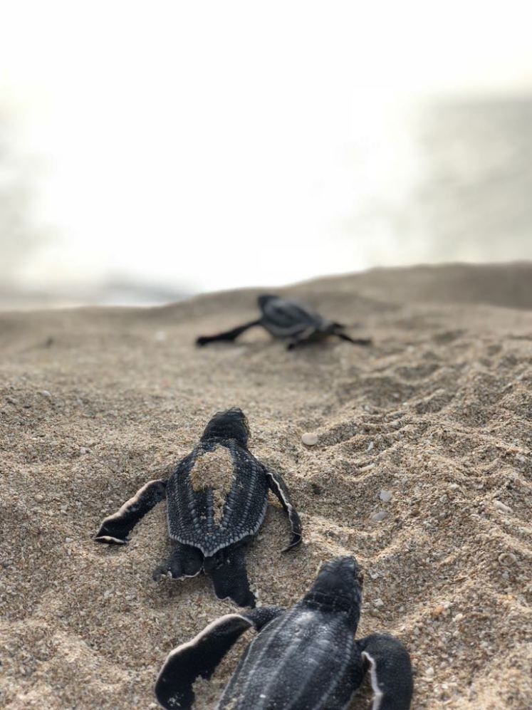 5. leatherback_hatchlings